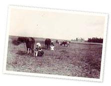 Lehmade lüpsmine põllul, 1910-ndad.